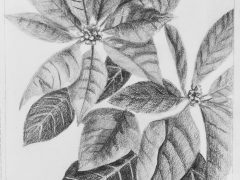 Poinsettia in Graphite
