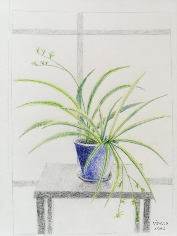 01-24 -19- Spider Plant