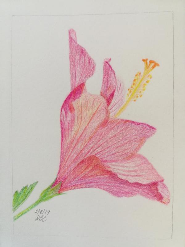 02-08-19- Pink Hibiscus