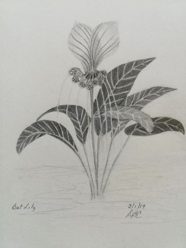 03-01-19- Bat Lily
