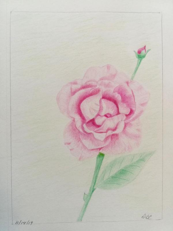 11-14- Pink rose